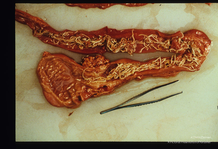 Adults in the terminal ileum and caecum.