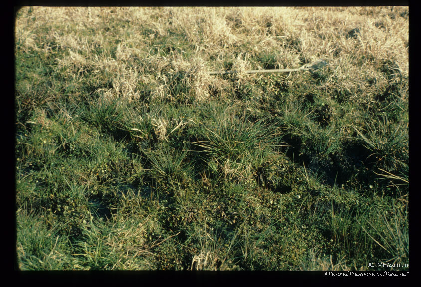 Pasture serving as habitat for Lymnea cubensis.