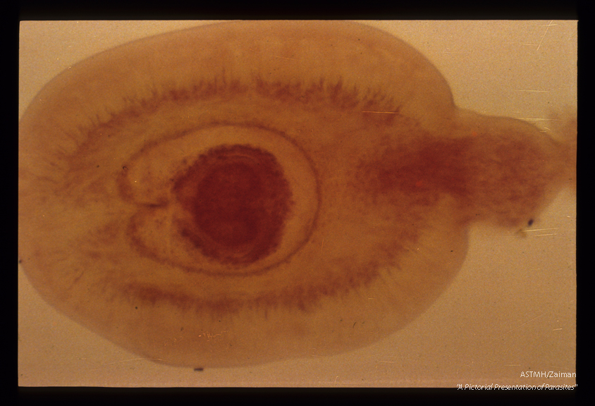 Cysticercoid larvae, from an insect intermediate host.