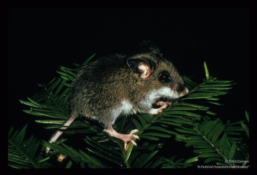 This genus of small wild mouse may serve as reservoir hosts for a multitude of organisms include the plague bacillus.