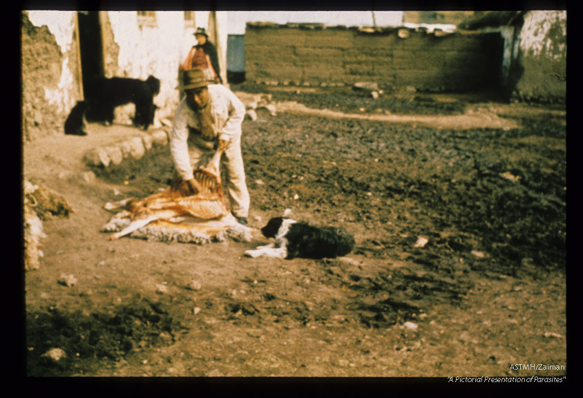 Home butchering of sheep in Central Sierra, Peru. Dog at the ready.