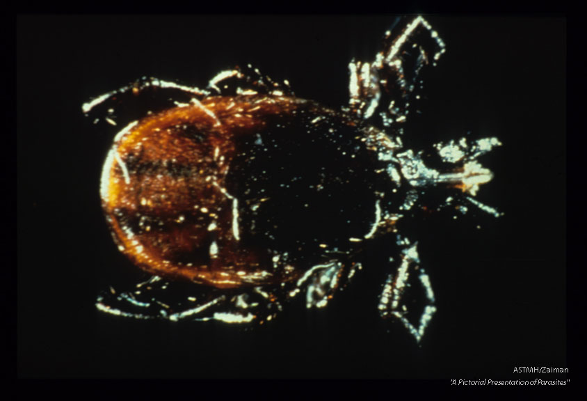 Tick vector of Lyme disease.