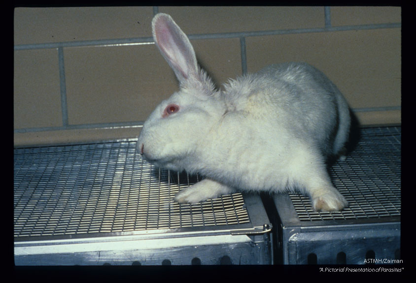Experimentally infected rabbit suffering loss of equilibrium, ataxia and torticollis.
