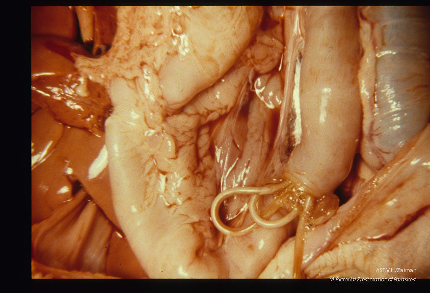 Adults emerging from a cut made in a puppy small bowel at autopsy.