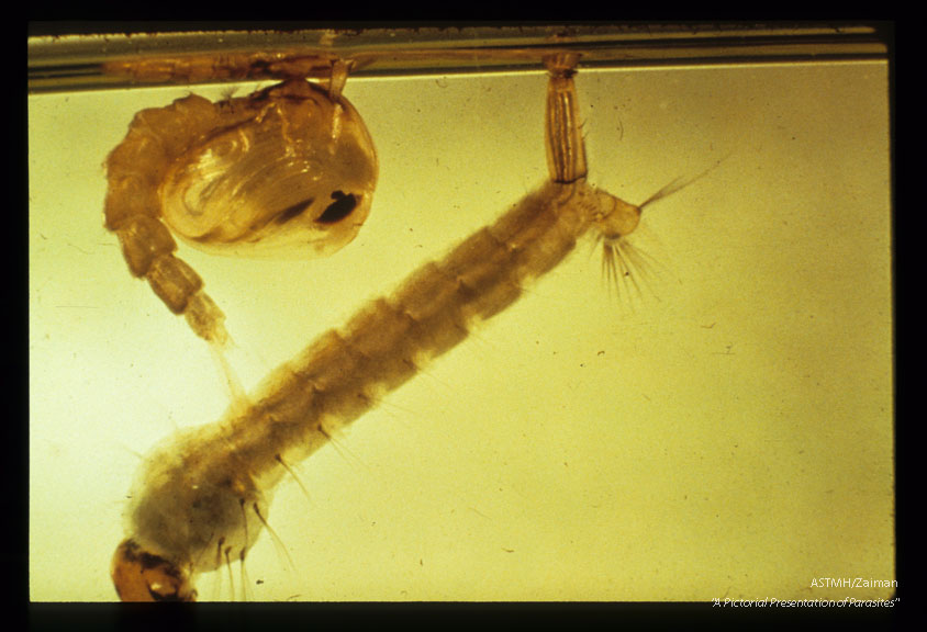 Larva and pupa in water.