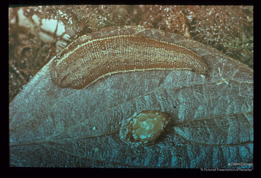 Land leech and cocoon. After a single blood meal, a leech may produce several cocoons. From 10-15 or more young leeches may emerge from each cocoon. Emergence time depends upon temperature. At laboratory room temperature emergence time was around 30 days.