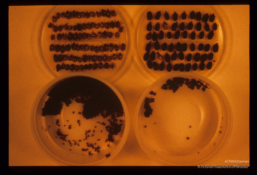 Ticks infected with Babesia die in large numbers and produce few eggs, (left) as compared to non-infected ticks (right).