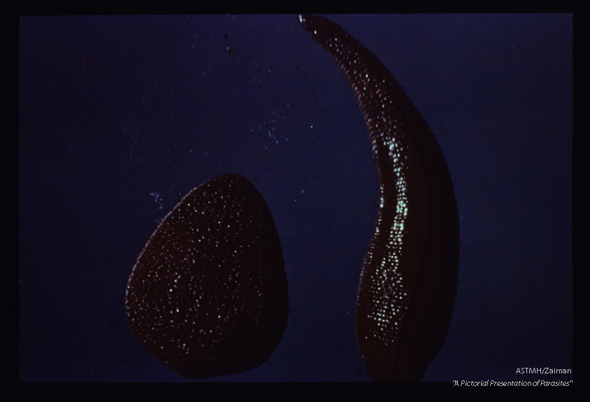 North Borneo . One of several color variants of this species of terrestrial leech.