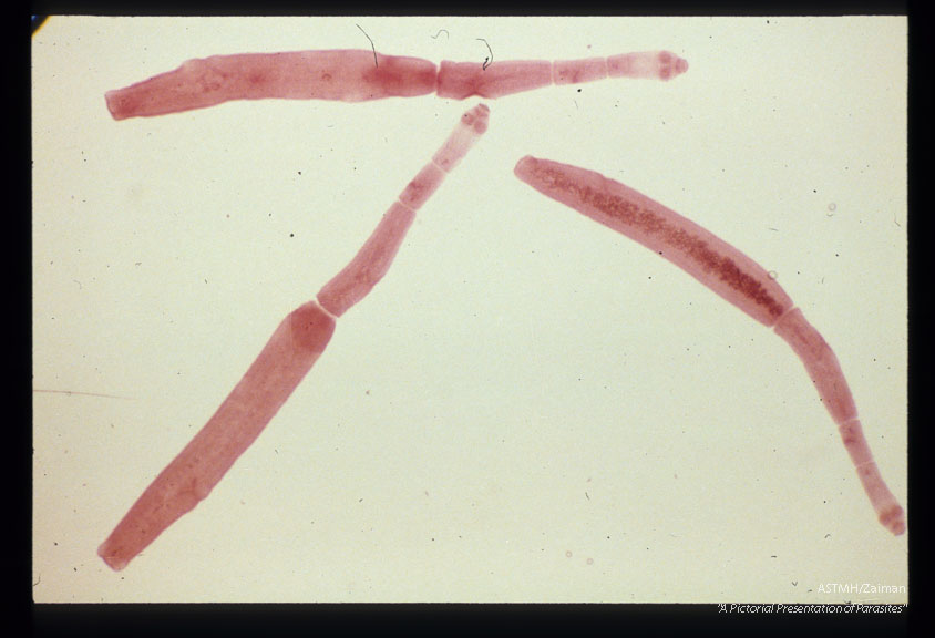 Adult worms from dog.